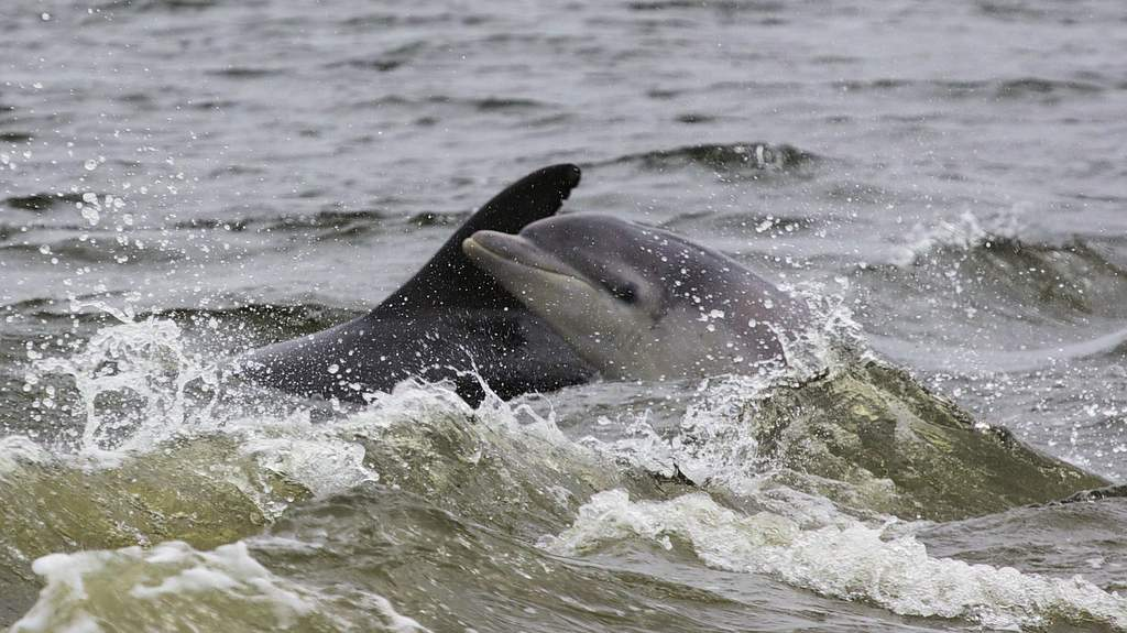 Dolphins at Cromarty - Photo by Home Farm B&B, Muir of Ord