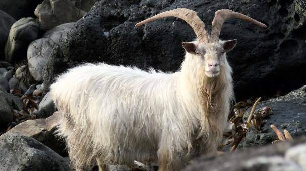 Wild Goat - Photo by Craigrowan B&B on the Isle of Mull