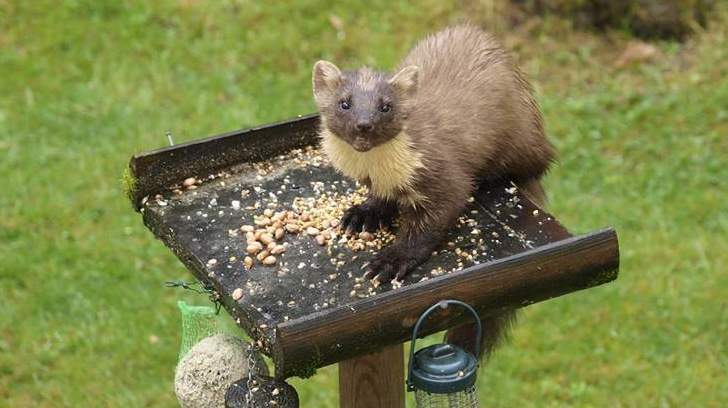 Pine Marten - Photo by Spean Lodge, Lochaber