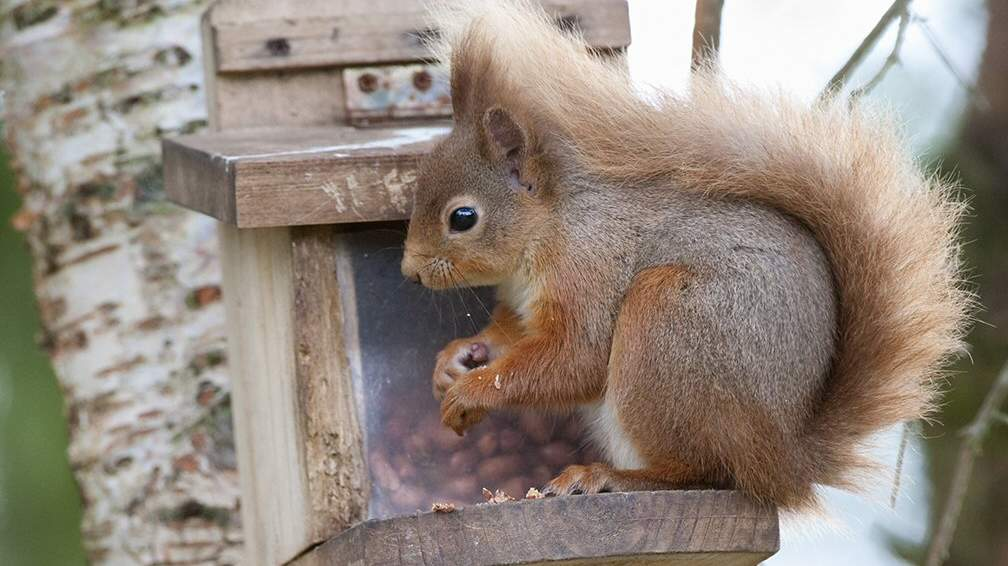 Red Squirrel - Photo by The Dulaig in Grantown on Spey