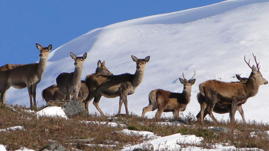 Deer in the Snow - Photo by Binnilidh Mhor in Glenmoriston