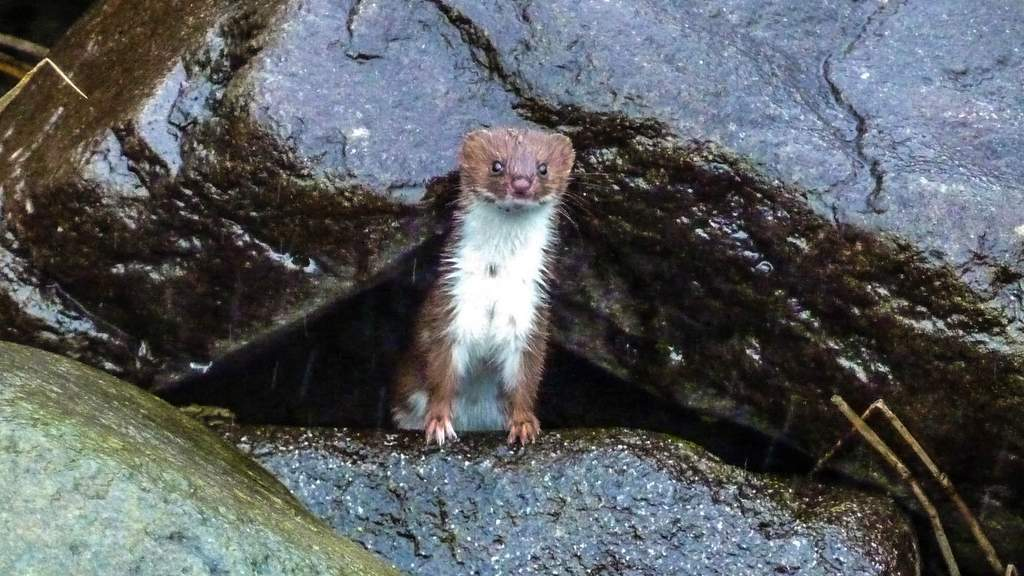 Stoat - Photo by Cuil Lodge on the Isle of Skye