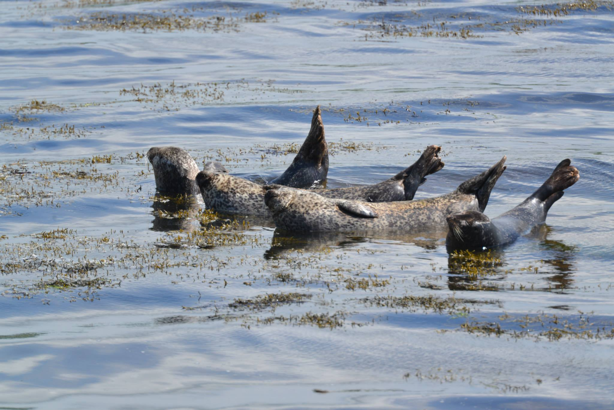 Basking Seals - Photo by Home Farm B&B, Muir of Ord