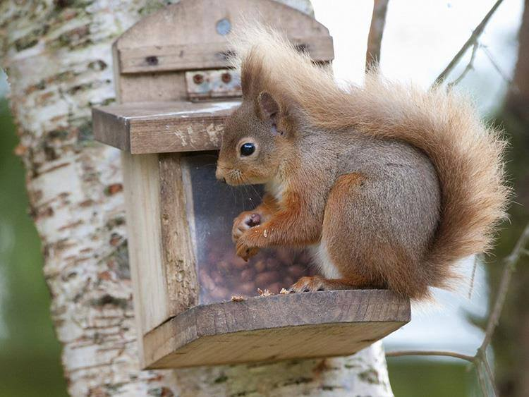 Red Squirrel - Photo by The Dulaig B&B, Grantown on Spey