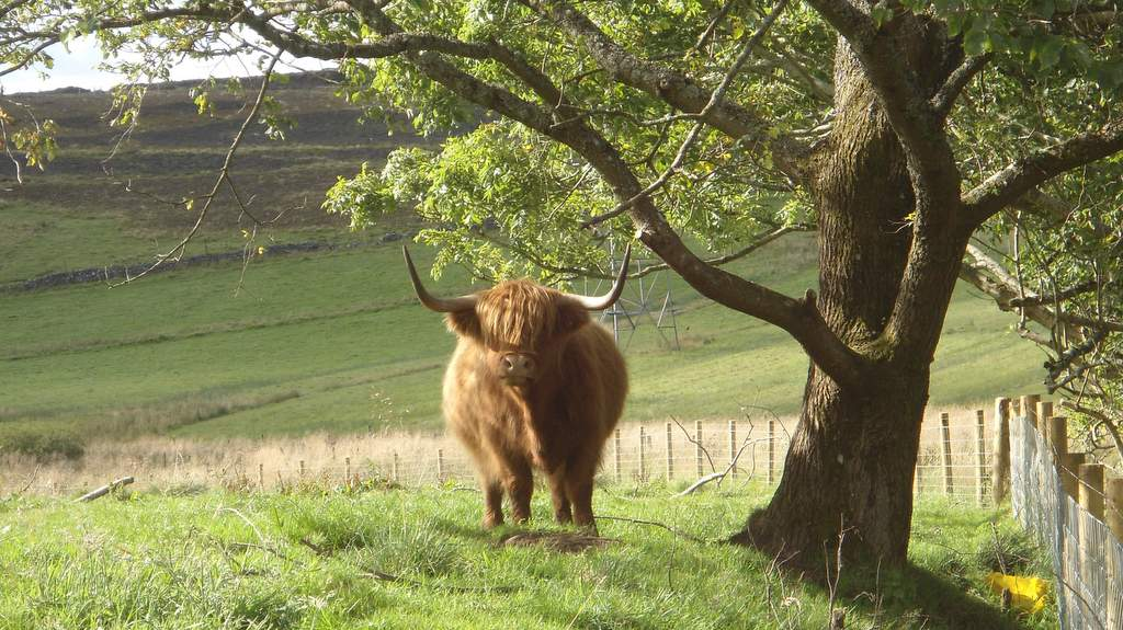 Highland Cow - Photo by Garvally House in Alloa