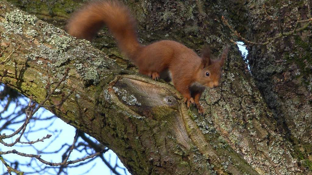 Red Squirrel - Photo by Brae House in Aberfeldy