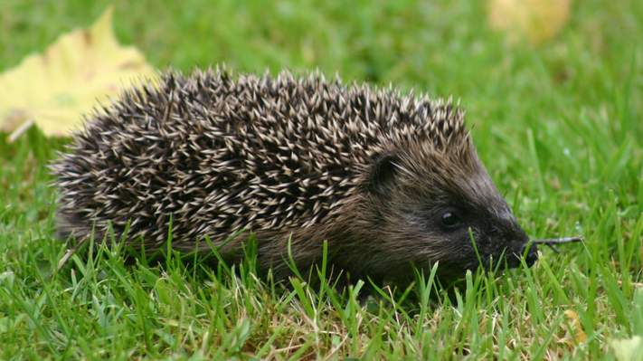 Hedgehog at The Dulaig