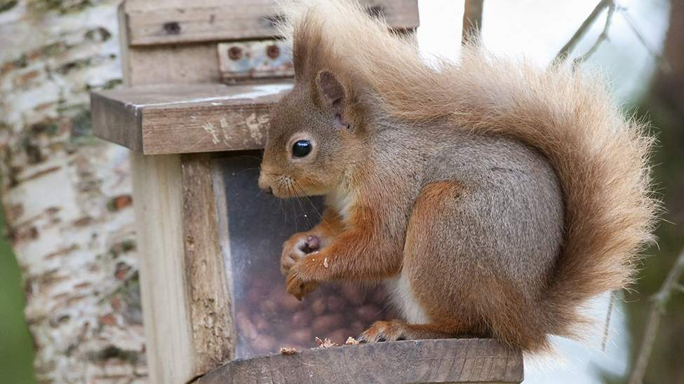 Red Squirrel - Photo by The Dulaig