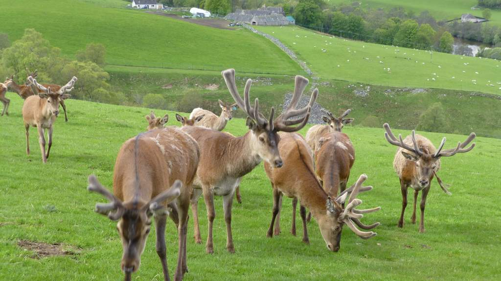 Deer in Kingussie