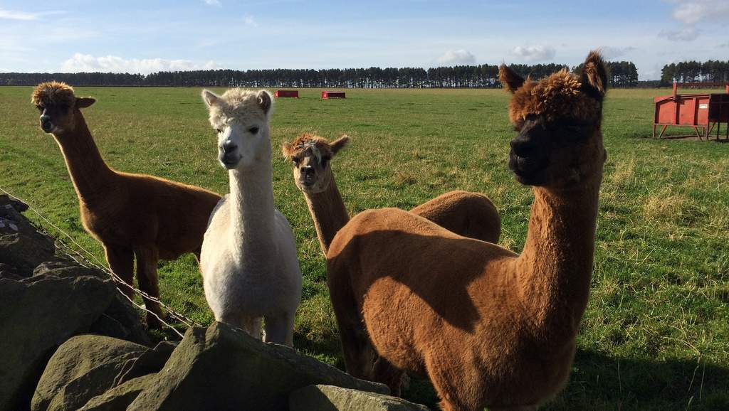Alpacas at Newton Farm B&B
