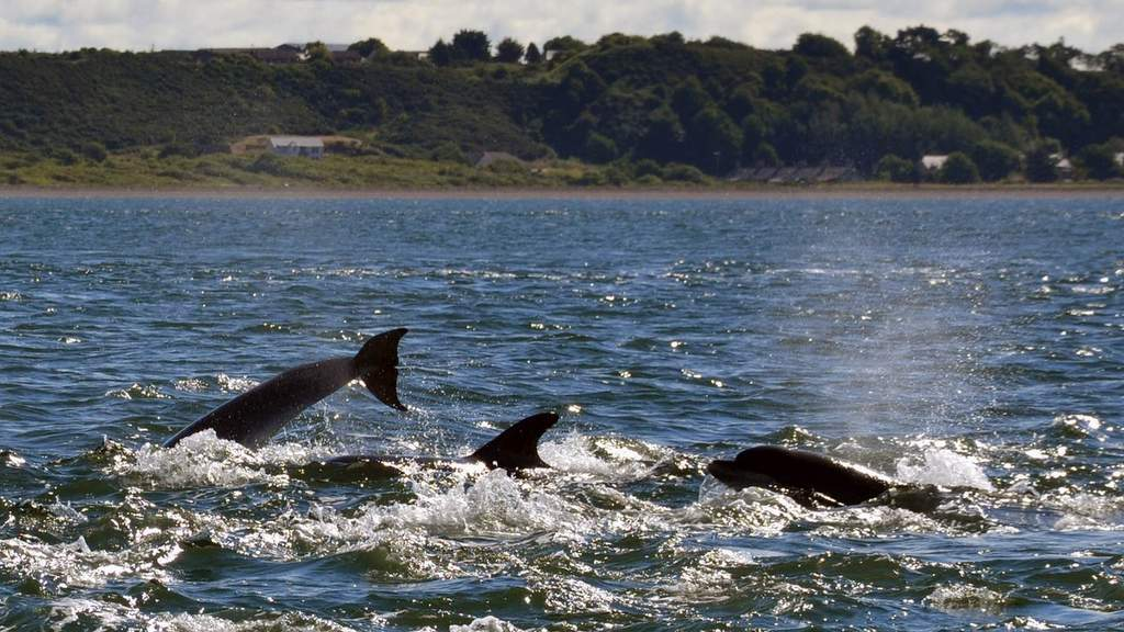 Dolphins at Cromarty