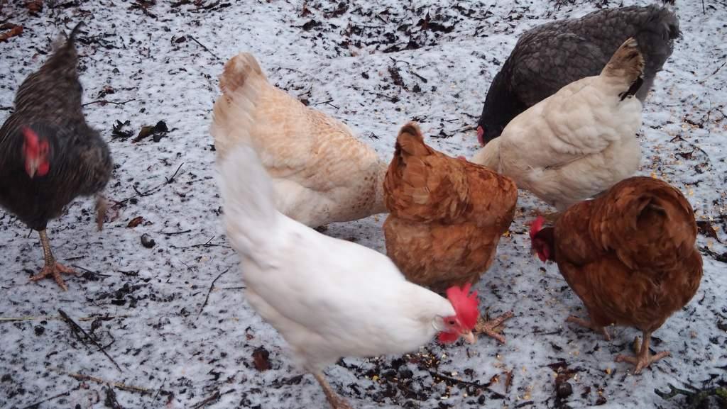 Free Range Hens at Factors House