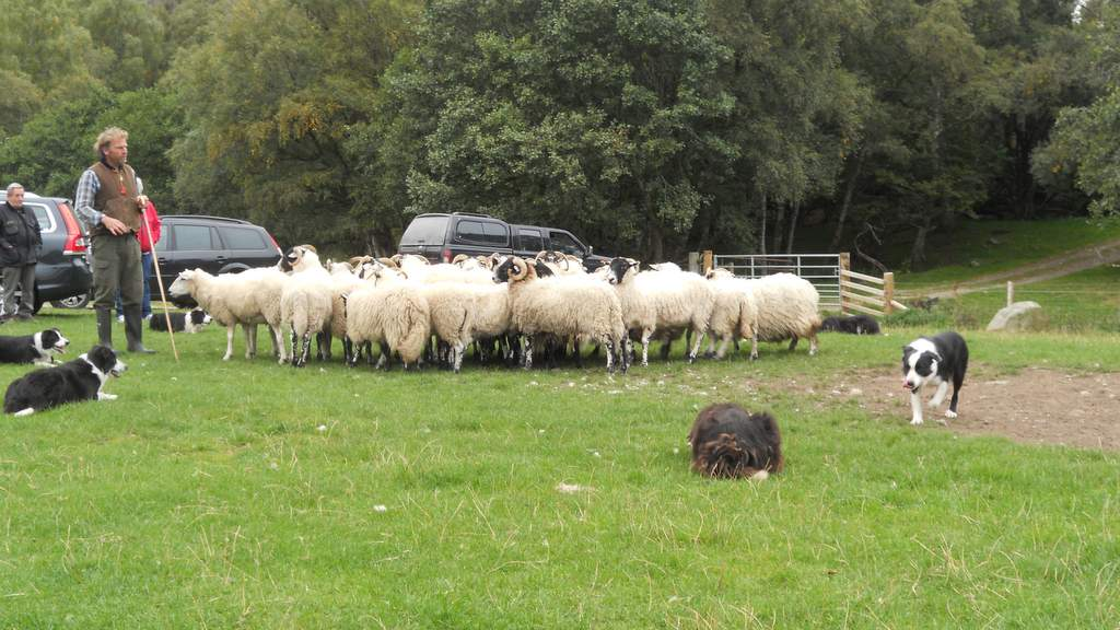 Leault Working Sheep Dogs - Photo by Glengarry B&B, Kingussie