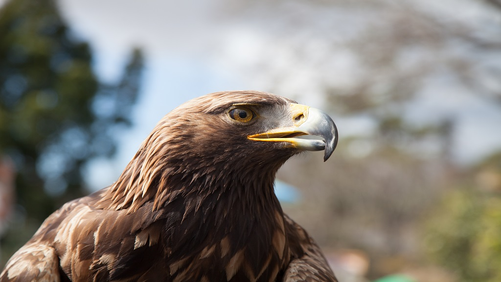 The mighty Golden Eagle near Callander, Perthshire